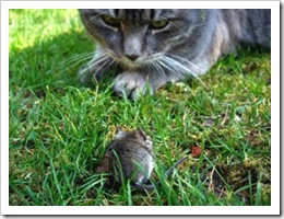 cat staring at mouse