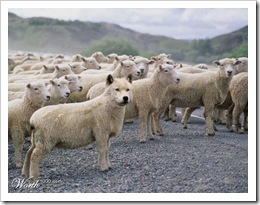 wolf in herd of sheep