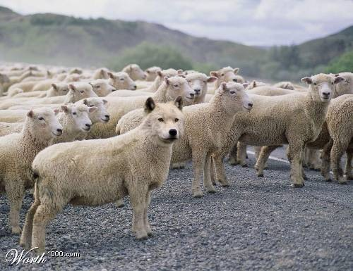 http://authenticorganizations.com/wp-content/uploads/2008/10/wolf-in-herd-of-sheep1.jpg